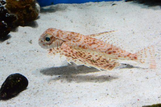海を歩く魚ホウボウ